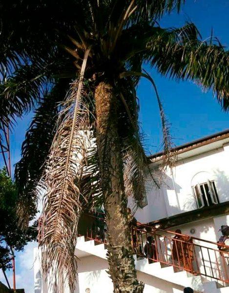 Ope, la palmera sagrada de Ifá